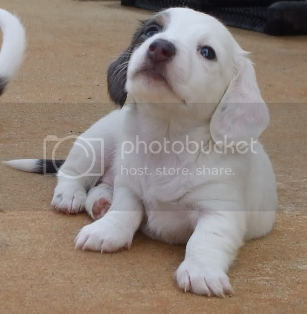 Extreme piebald miniature dachshund puppy long hair blue & tan white ...